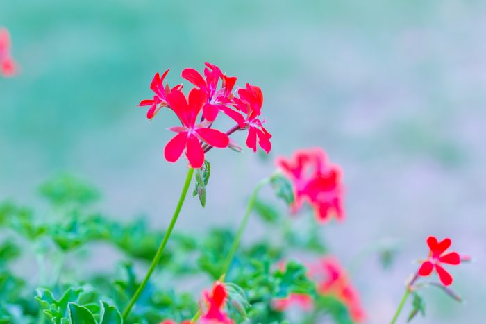 Geranium Essential Oil: Mind and Body Benefits