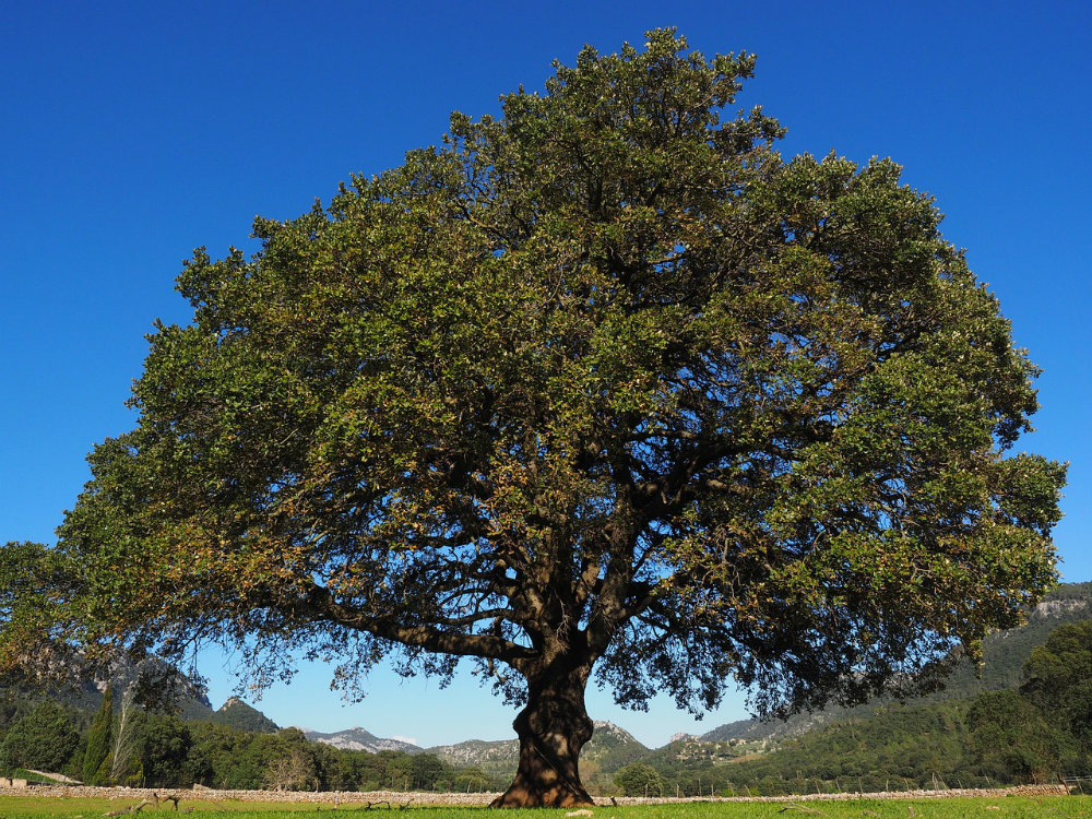 Camphor Essential Oil: Mind and Body Benefits
