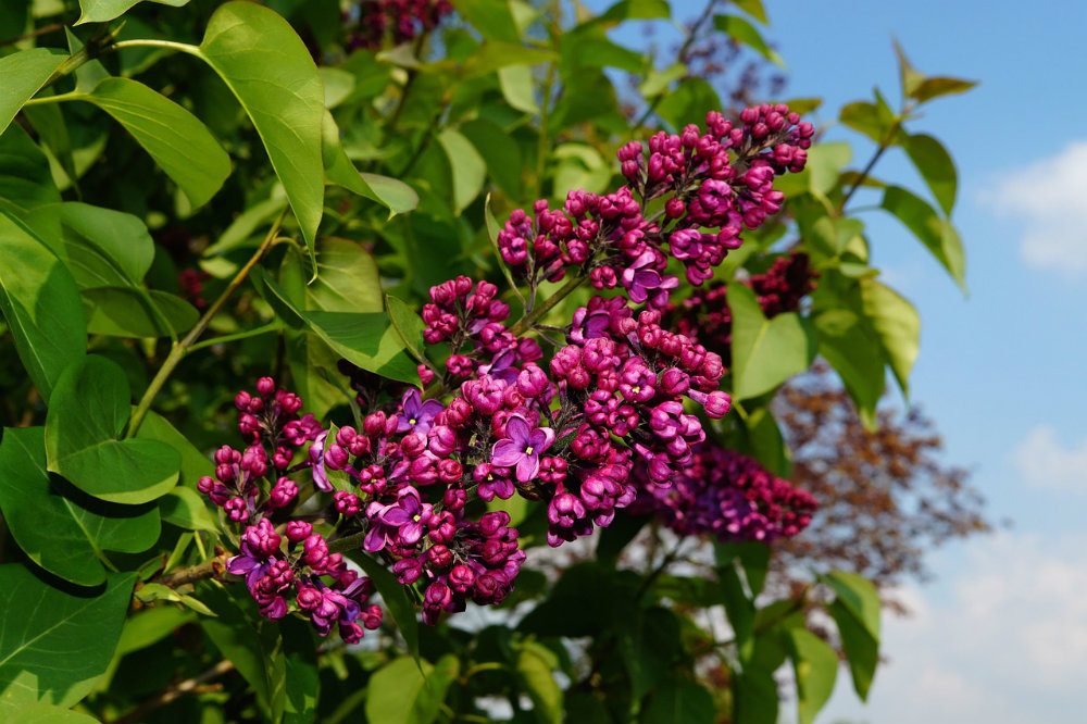 Lilac Essential Oil: Mind and Body Benefits