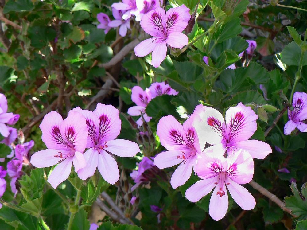 Rose Geranium Essential Oil: Mind and Body Benefits