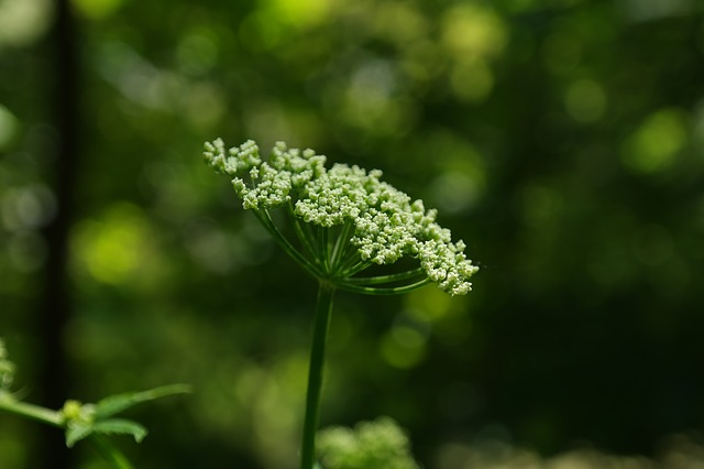 Angelica Essential Oil: Mind and Body Benefits